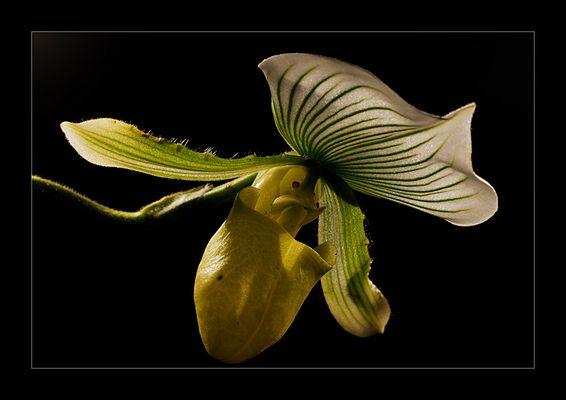 paphiopedilum maudiae