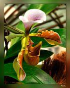 Paphiopedilum-spicerianum-Hybride