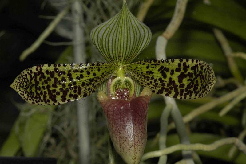 Paphiopedilum sukhakulii