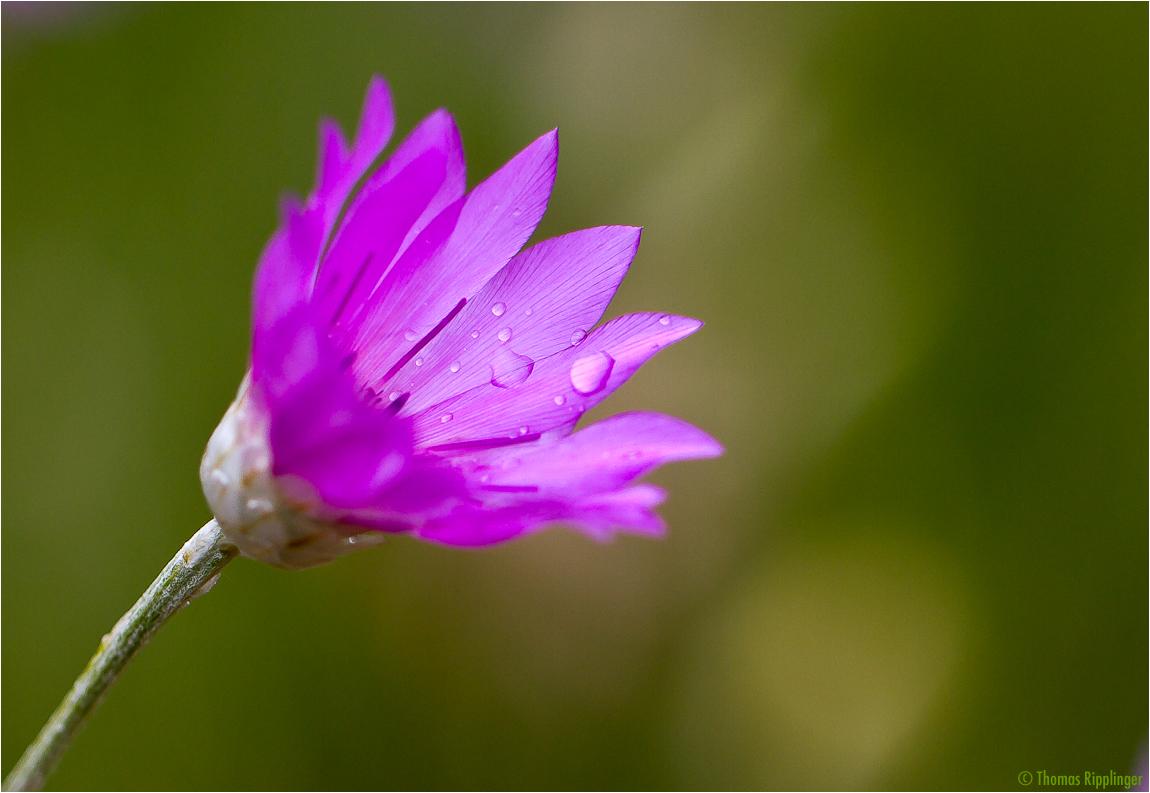 Papierblume (Xeranthemum annuum)......