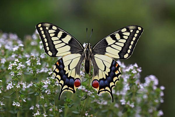 Papilio II