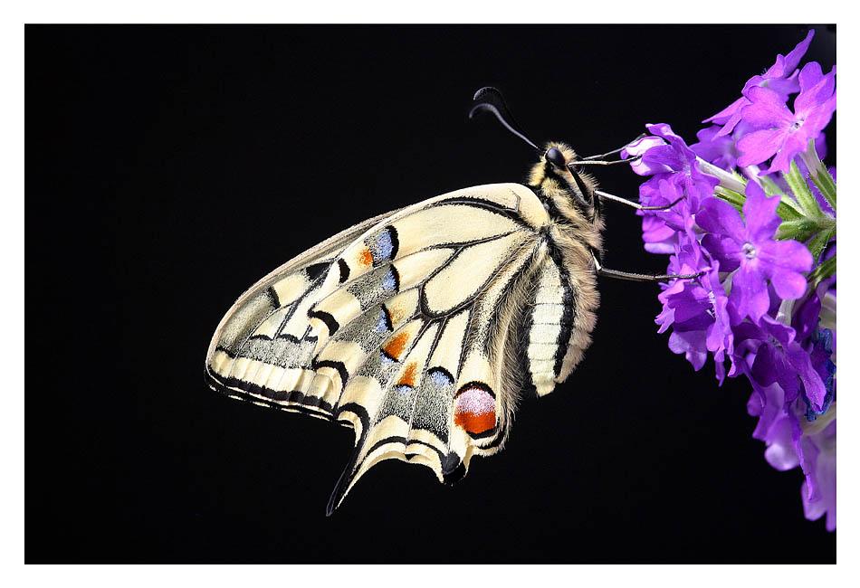 Papilio Juwel