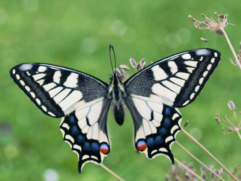 papilio machaon 1