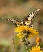 Papilio machaon 2