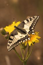 Papilio machaon 3