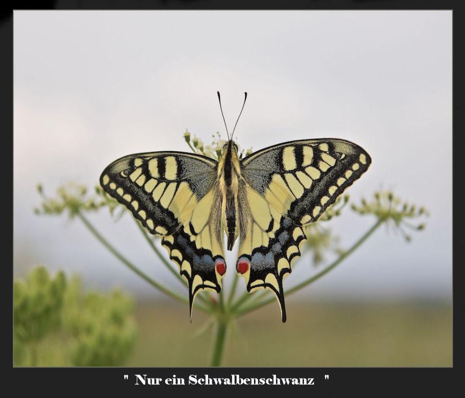 (Papilio machaon)