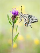 Papilio machaon ...