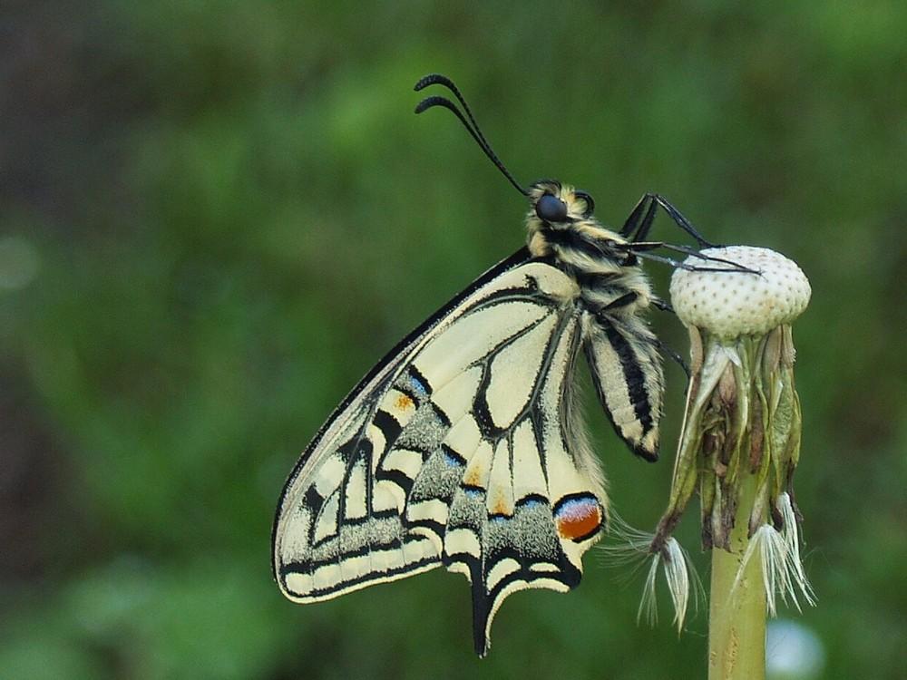 Papilio machaon - da allotrio adocchiamento