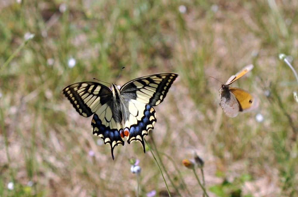 Papilio machaon (le grand porte-queue)