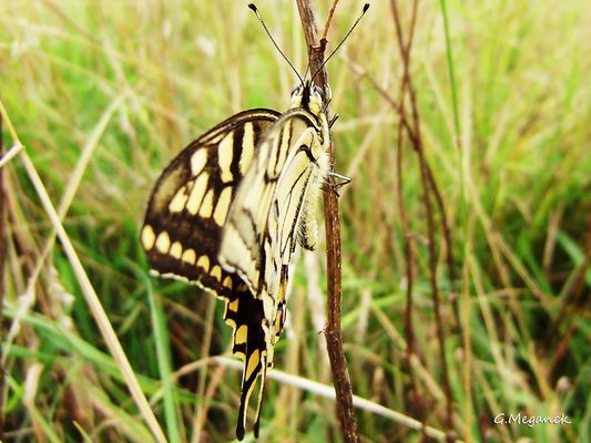 Papilio machaon Linaeus