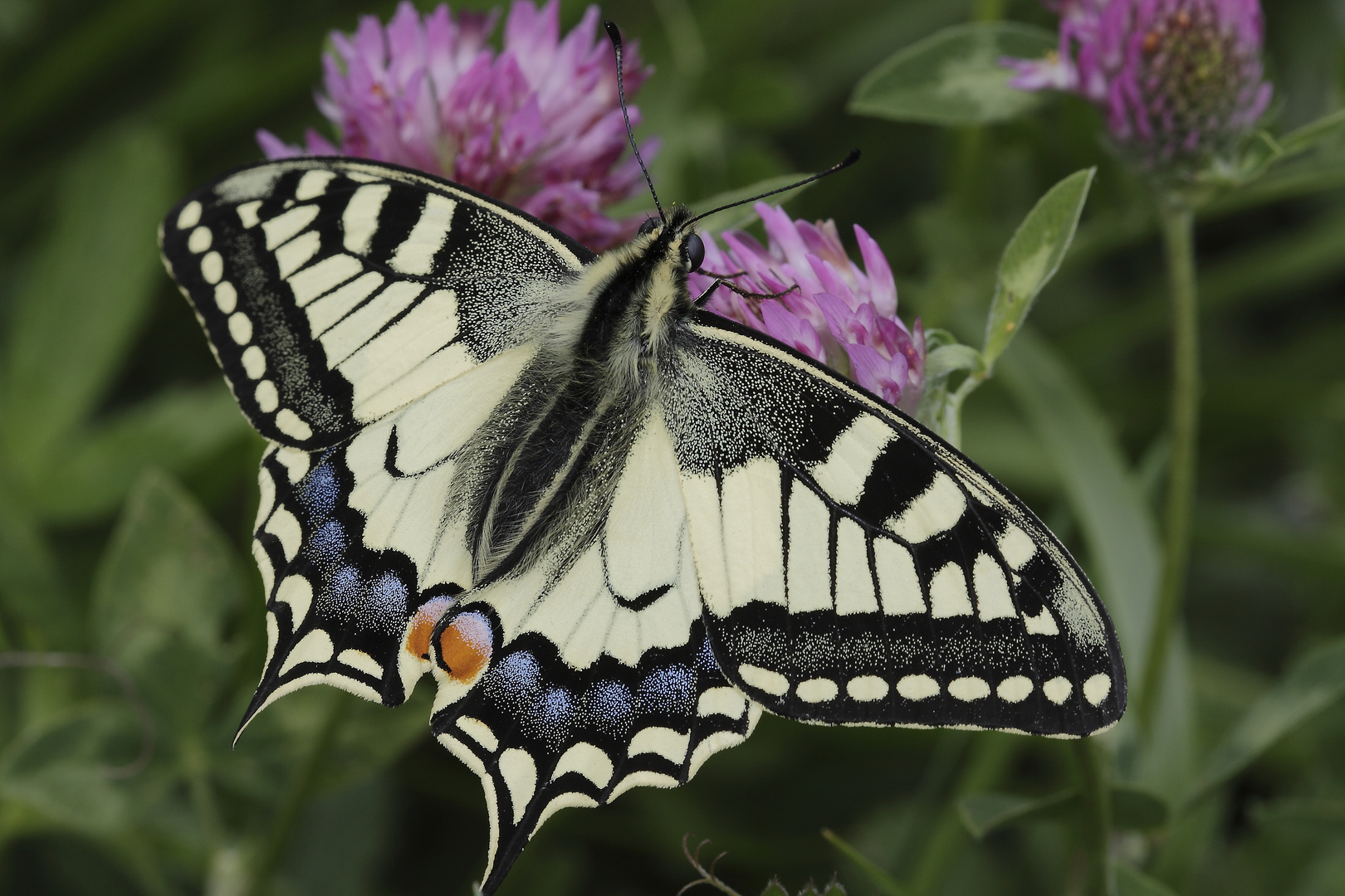 Papilio machaon linaeus