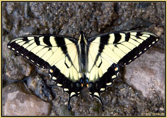 Papilio machaon, Ritterfalter, Schwalbenschwanz II