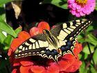 Papilio machoan