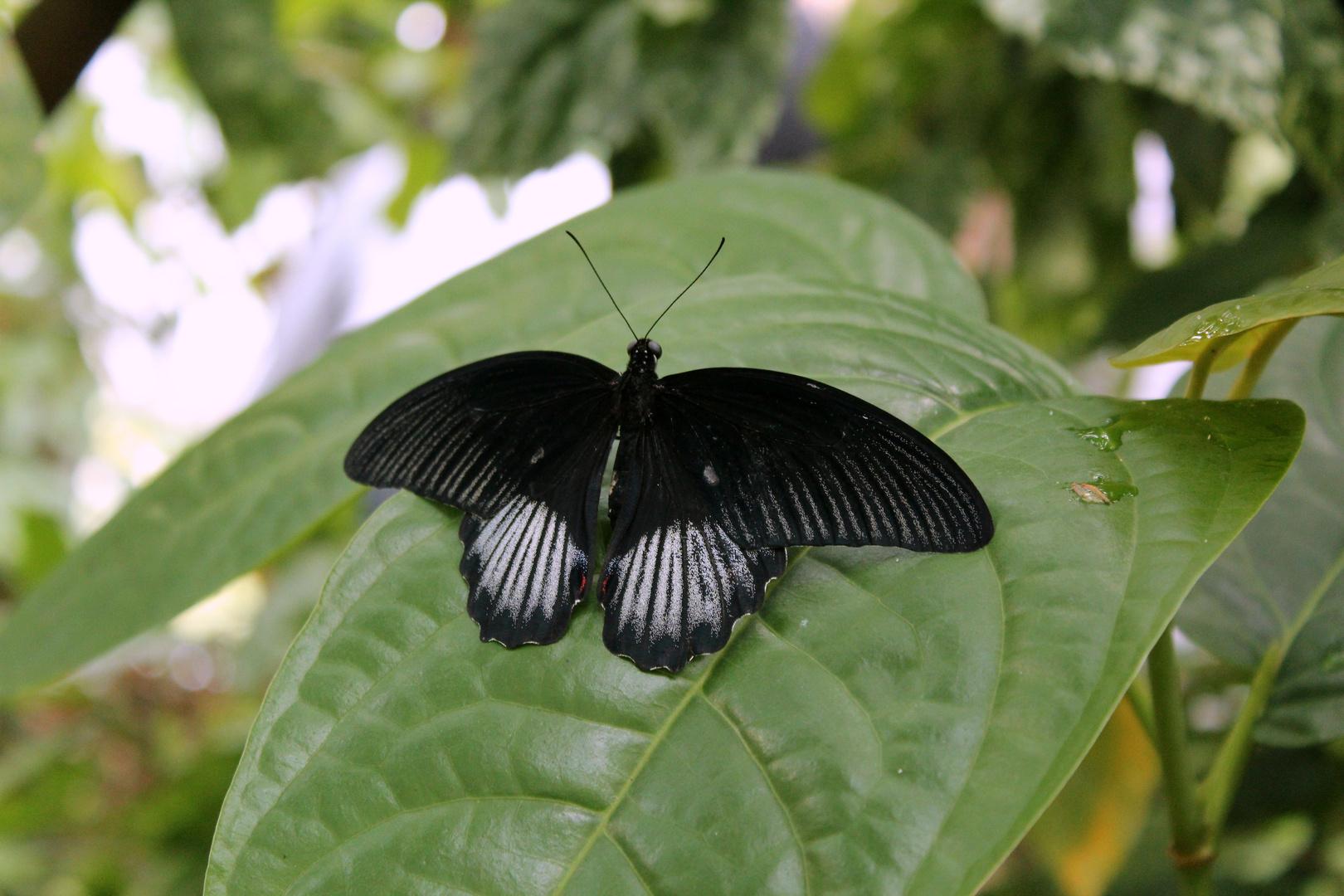 Papilio memnon?