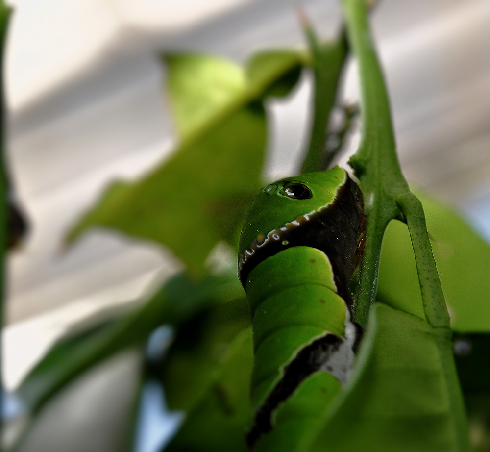 Papilio-Raupe..........