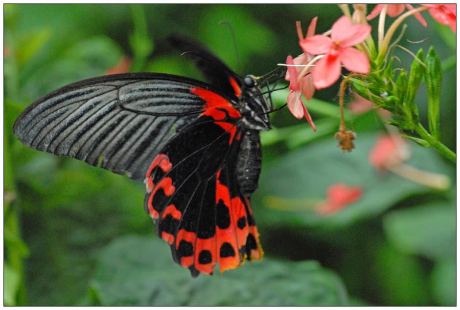 Papilio rumanzovia