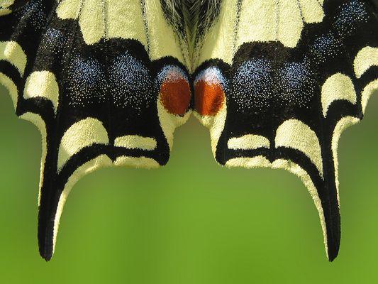 Papilion machaon (Schwalbenschwanz)