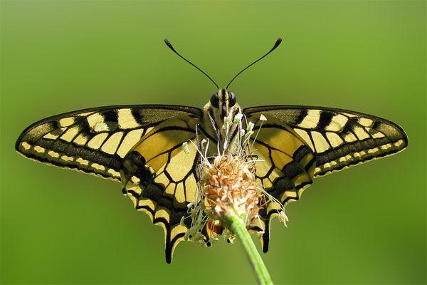 Papilion machaon (Schwalbenschwanz) II