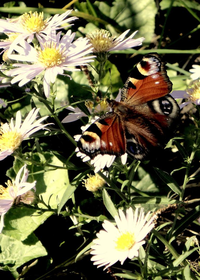 Papilionoidea