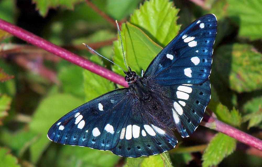 papillion dans foret des landes