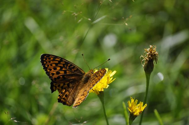 papillion du quebec 2