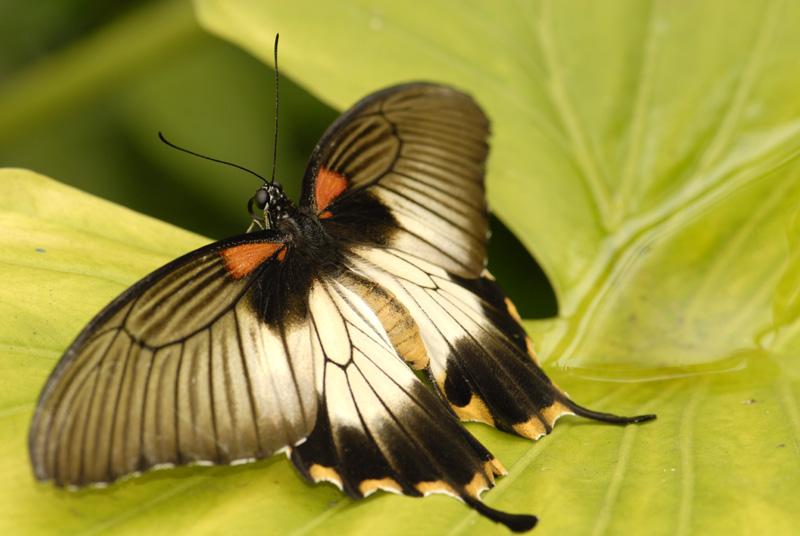Papillo Towi