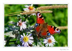 Papillon 05