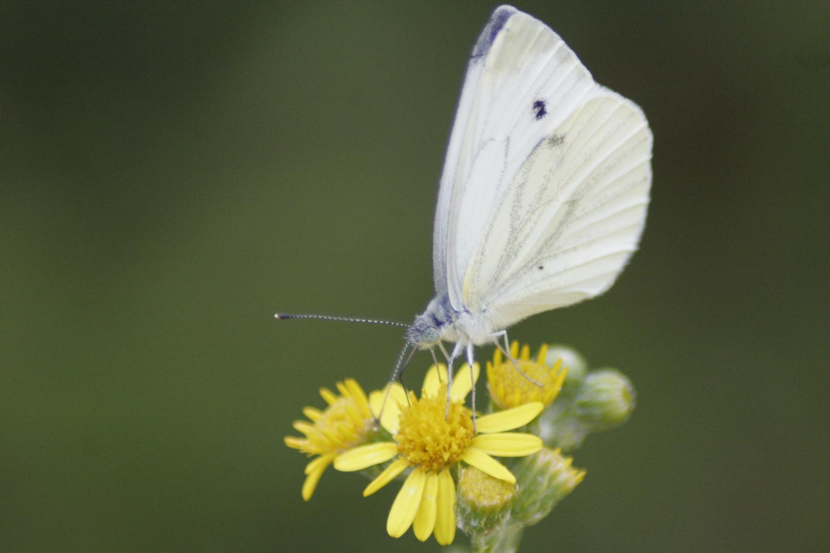 papillon-1