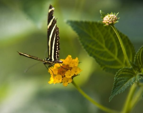 Papillon 10