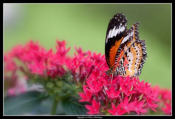 Papillon-15