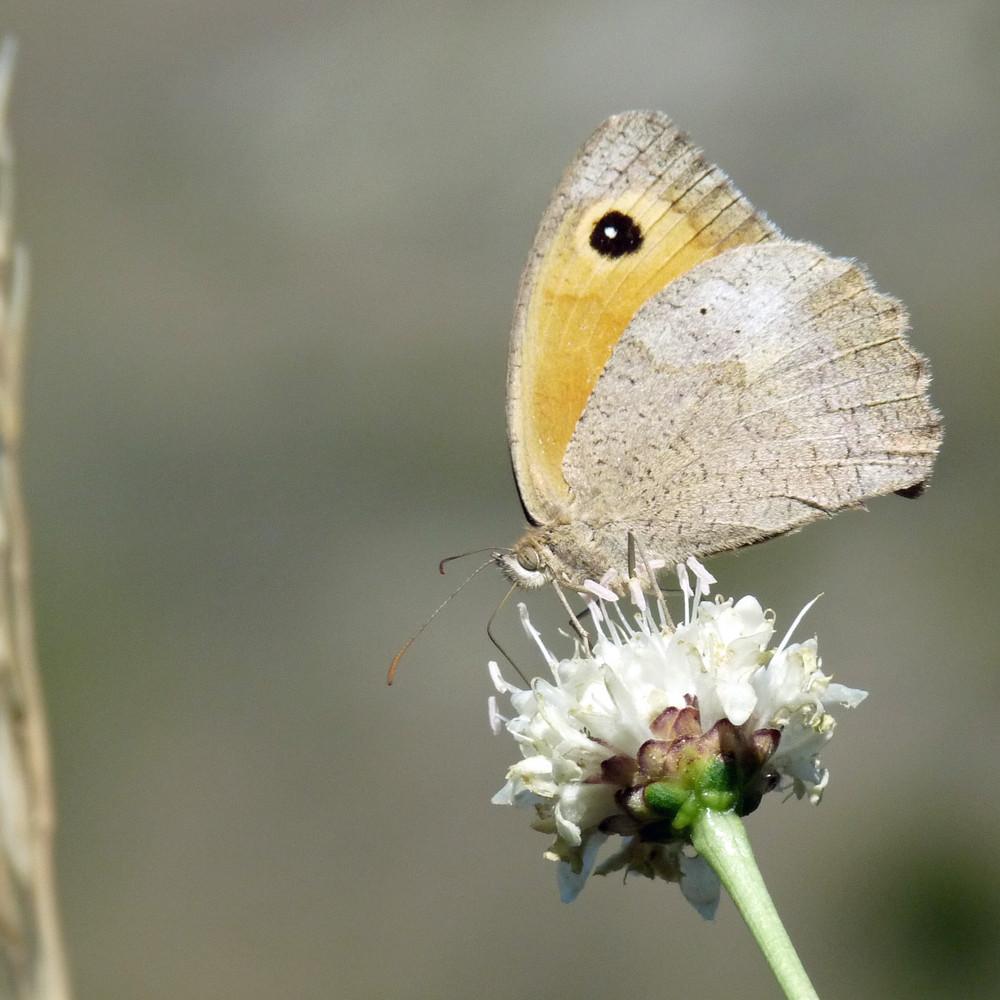 papillon #3