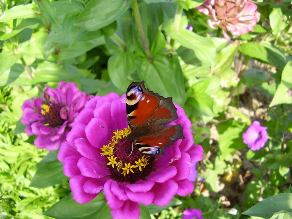 papillon...
