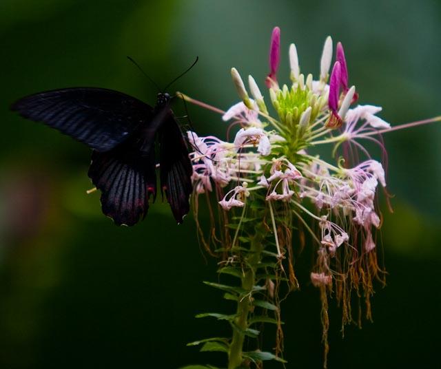 Papillon 5