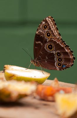 papillon ?