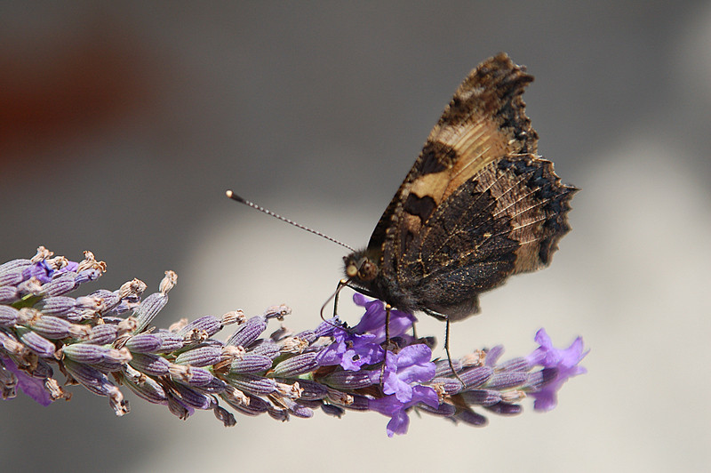 Papillon !