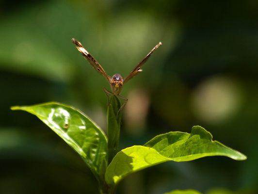 Papillon 7