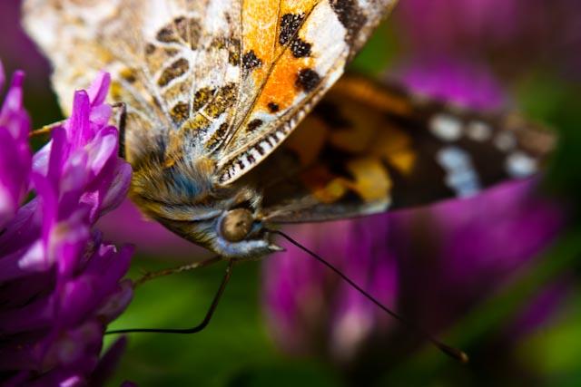 papillon 8