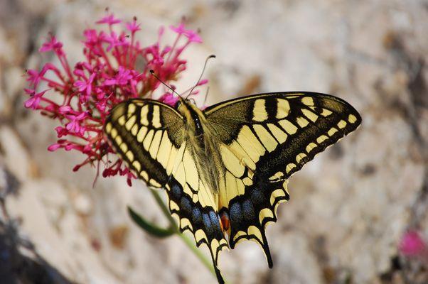 Papillon à Allauch