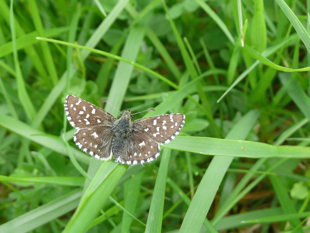papillon à Dornecy