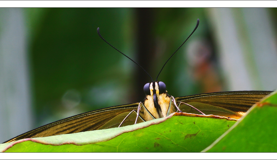 [ Papillon ]