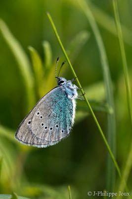 Papillon -