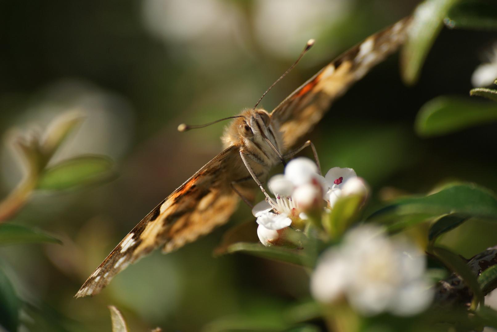 Papillon au travail.