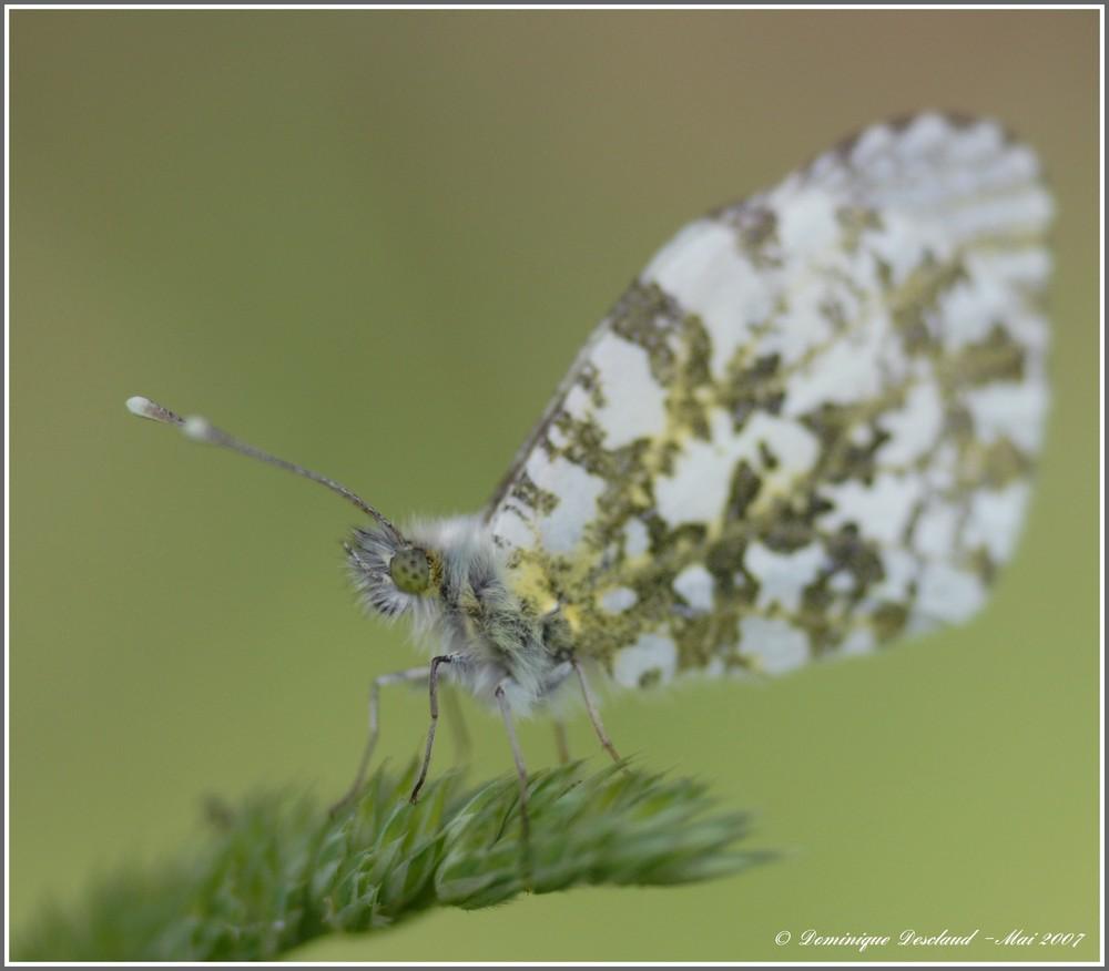 Papillon Aurore Femelle