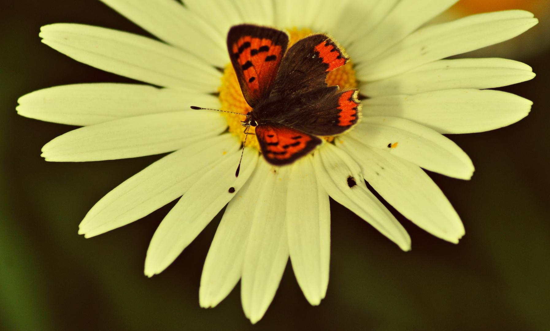 Papillon automnale