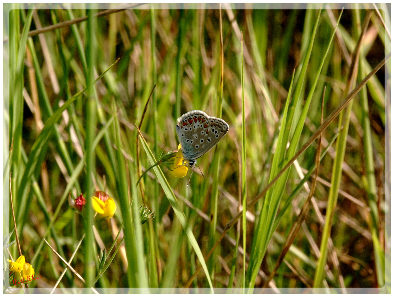 Papillon......