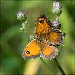 Papillon banal et pourtant !