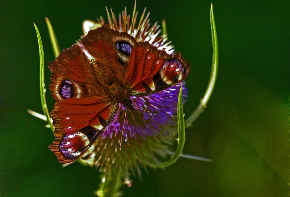 papillon belge