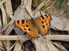 Papillon Belle-Dame