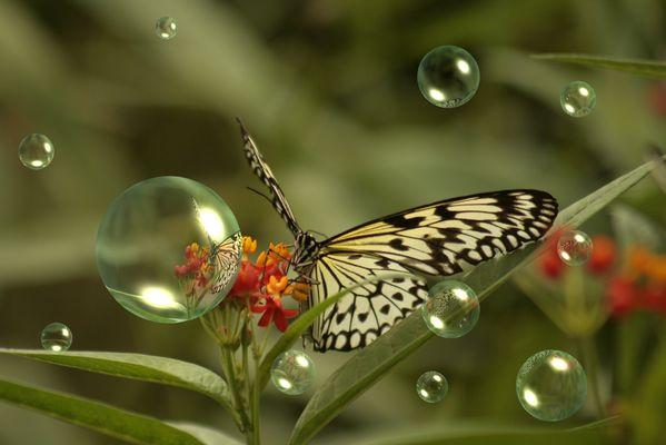Papillon bulles