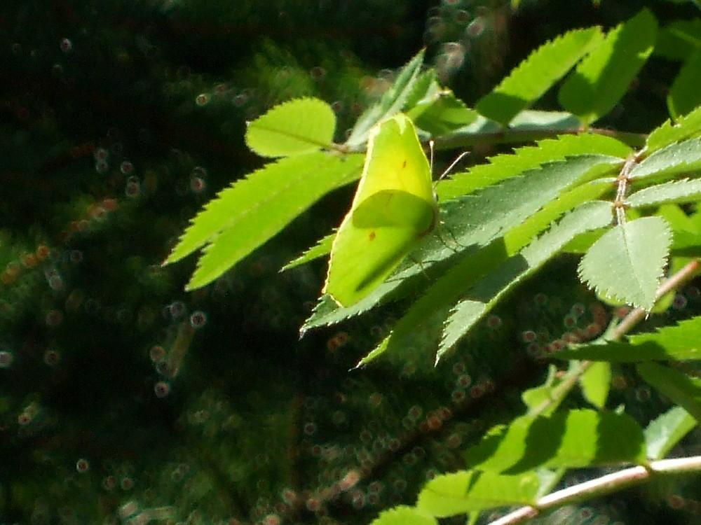 Papillon caméléon